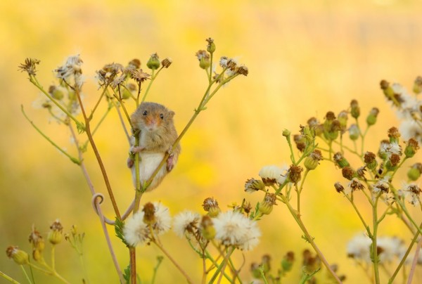 3-Harvest-mouse-in-vegetation-credit-Ben-Andrew-rspb-images.com_-600x404