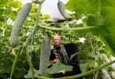 Niekonwencjonalna metoda uprawy ogórków na Syberii