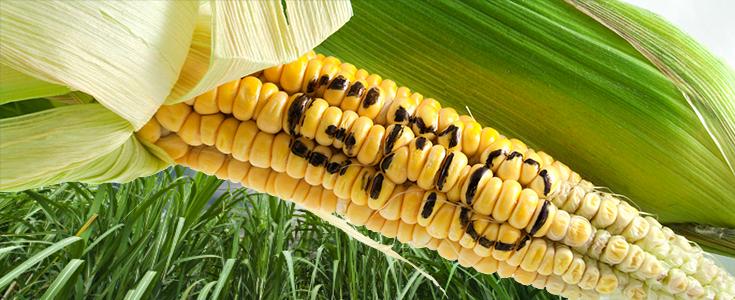 gmo-corn-word-735-300-735x300