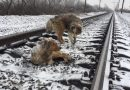 Pies przez dwie doby osłaniał i ogrzewał swoją ranną towarzyszkę, leżącą na torach