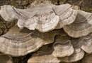 Znany grzyb może pomóc w leczeniu raka szyjki macicy