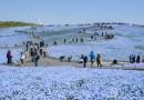 4.5 miliona niebieskich kwiatów kwitnie w japońskich parkach, przypominając pola pełne wróżek