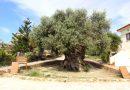Oliwka, która ma aż 3000 lat. To jedno z najstarszych drzew na świecie.