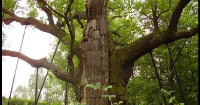 Leśnicy wyhodowali 250 klonów dębu Bartek