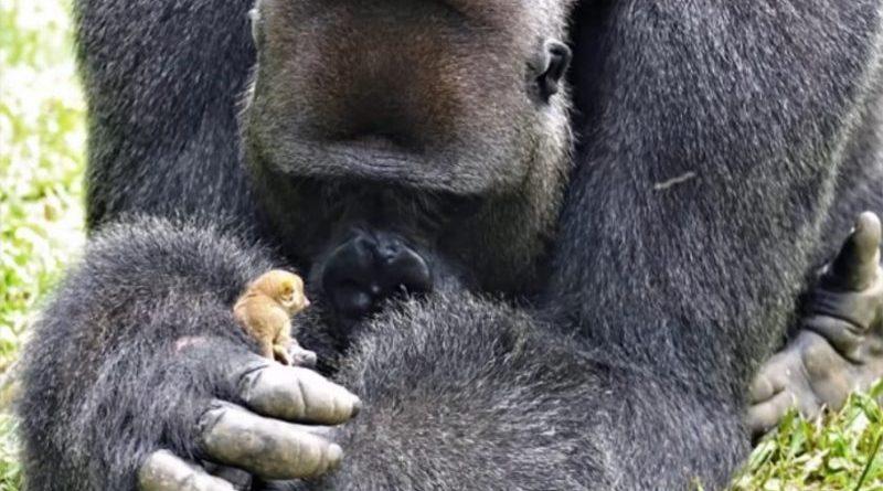Ogromny goryl znalazł przyjaciela wielkości swojego palca