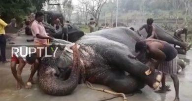 Hinduskie słonie świątynne zostały wysłane na 48 dniowe spa