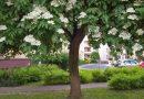 Unikalny okaz bzu czarnego w formie drzewa, a nie krzewu. Jeden z kandydatów do tegorocznego Drzewa Roku
