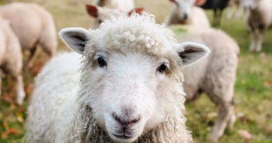 Górą ekologia. Największe lotnisko Belgii do koszenia trawy zatrudniło… owce