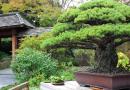 To niezwykłe 394-letnie drzewko bonsai przetrwało atak na Hiroszimę