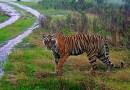 W ciągu pięciu ostatnich lat w Indiach zanotowano wzrost populacji tygrysów