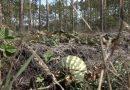 Niecodzienne znalezisko… w środku lasu na Dolnym Śląsku wyrósł arbuz