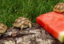 Małe żółwiki pojawiły się na Wyspach Galapagos po raz pierwszy od 100 lat!