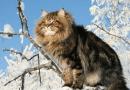 Norweskie leśne koty… zwierzęta Wikingów