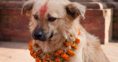 Co roku w Nepalu odbywa się festiwal, który dziękuje psom za to, że są naszymi przyjaciółmi