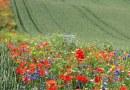 Rolnicy powracają do starej metody zwalczania szkodników przez sadzenie polnych kwiatów zamiast używania chemikaliów