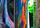 Tęczowy eukaliptus – najpiękniejsze drzewo na świecie