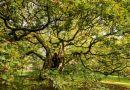 W Liverpoolu rośnie pewne drzewo, które ma już 1000 lat. Wielu ludzi w ogóle o nim nie słyszało