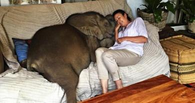 Młody słoń nieustannie podąża za swoją wybawicielką, która uratowała mu życie