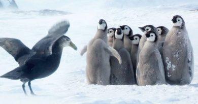 Pisklęta pingwina uratowane przez niespodziewanego bohatera