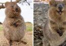 Quokki to… najszczęśliwsze zwierzę świata… i mamy na to dowody!