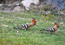 Zaskakujący goście pod Tatrami! Tych ptaków nie widziano tu od 50 lat