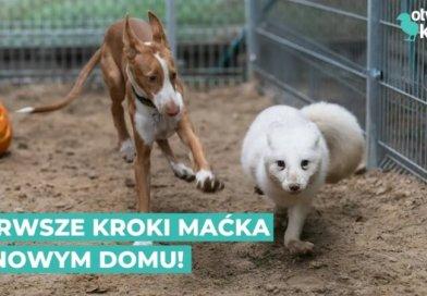 Uratowany lis Maciek stawia pierwsze kroki w nowym domu