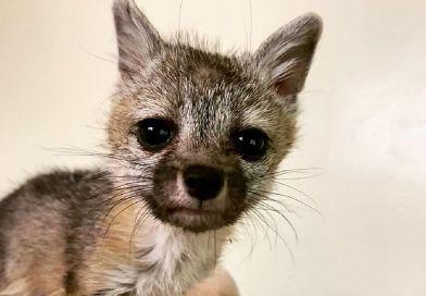 Rodzina z Arizony uratowała 6-tygodniowego lisa, którego spotkała na spacerze