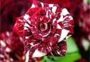 Ta rzadka róża ma biało-czerwone płatki i będzie wspaniałą ozdobą dla twojego ogrodu