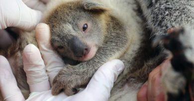 Australia dochodzi do siebie! Na świat przyszedł pierwszy koala po pożarach