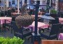 Pszczoły przysiadły przy kawiarni na Starym Mieście