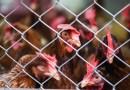 Ponad 140 naukowców podpisało list otwarty przeciw hodowli klatkowej