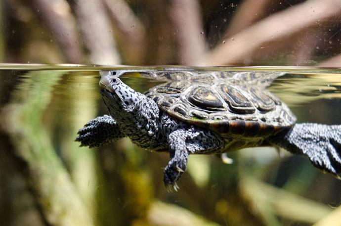 zółwi