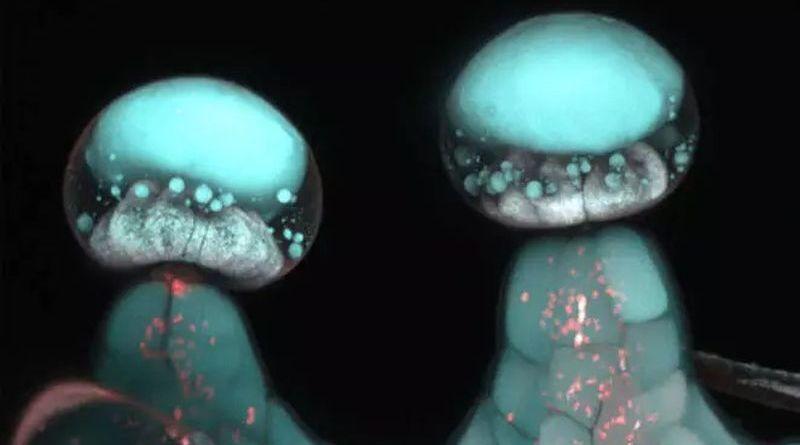 Konopie pod mikroskopem