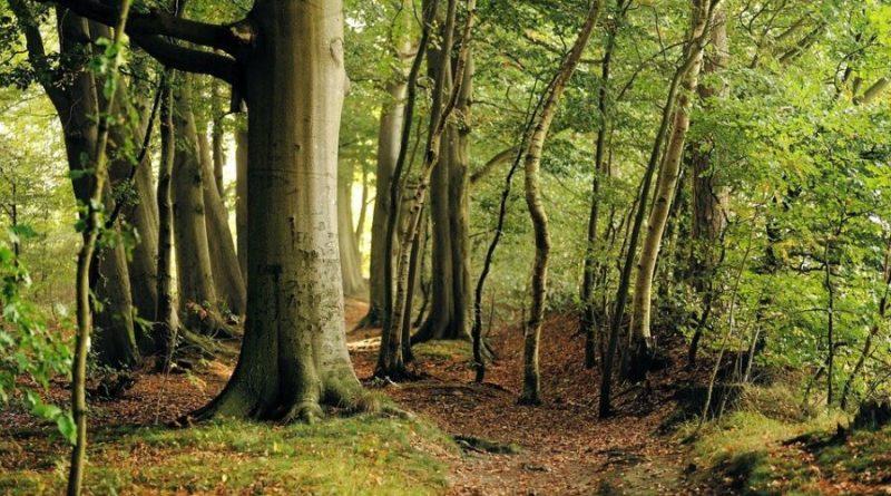 Bukowe lasy