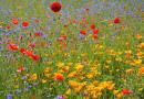 Kwietne łąki a samopoczucie. Trwają badania z udziałem 300 chętnych