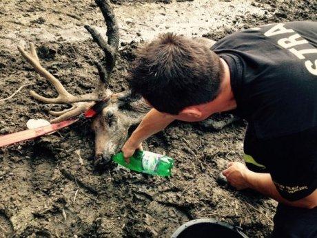 z18321827AAWedkarze zeglarze i mysliwi uratowali jelenia kt
