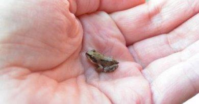 Przenieśli przez jezdnię 26 tysięcy żab