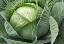 Preparat z kapusty zastąpi pestycydy w ochronie roślin
