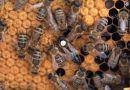 Zobacz codzienne życie pszczół