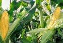 W gminie Leżajsk wyprodukują prąd z kiszonki kukurydzy