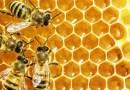 Bakterie pozyskane z pszczelego miodu alternatywną dla antybiotyków