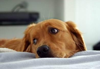 Daisy – labrador który uratował 550 osób