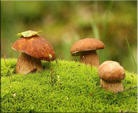 Правила сбора грибов. Съедобные, несъедобные и ядовитые грибы