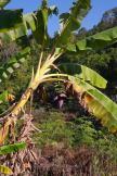 Kwitnący babanowiec