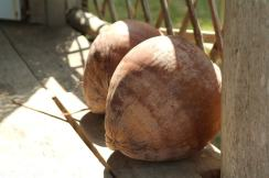 Kokosy spadly nam na podworko_