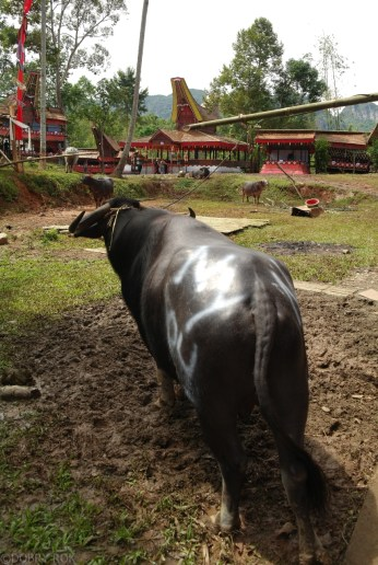 Tana Toraja Ceremonia pogrzebowa_Indonezja (15)