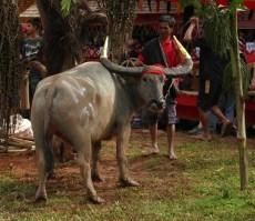 Tana Toraja Ceremonia pogrzebowa_Indonezja (23)
