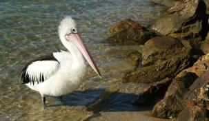 Pelikany w Noosa