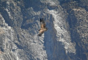 Cruz Del Condor kanion Colca