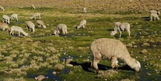 Lama Peru (1)